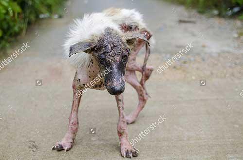 Cách điều trị chó bị viêm da có mủ