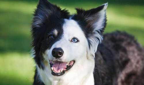 Đôi mắt chó Border collie