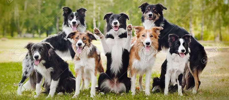 Giống chó Border Collie