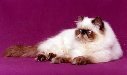 Mèo Ba Tư lông dài