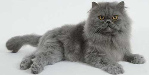 Mèo Ba Tư mặt tịt