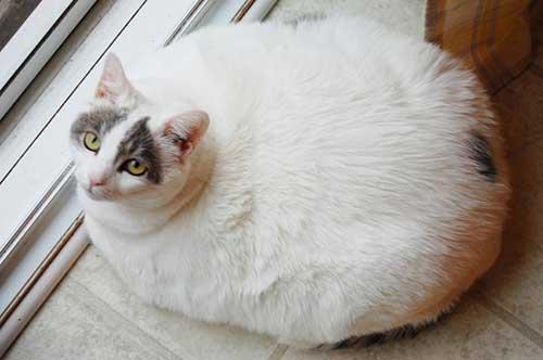 Mèo béo 6