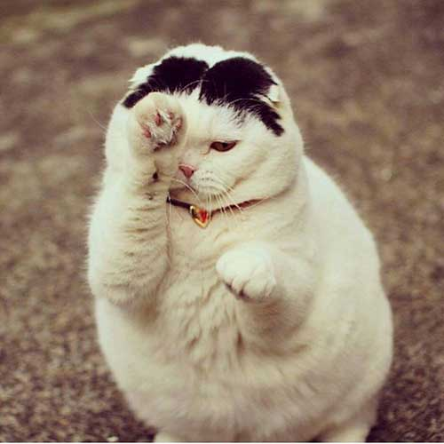 những chú mèo béo
