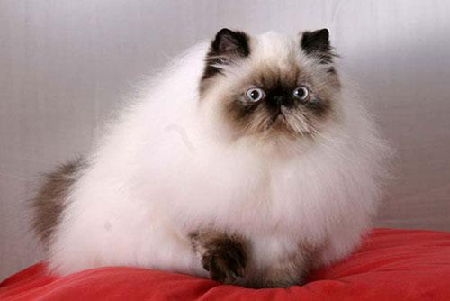 Lịch sử hình thành mèo Himalaya