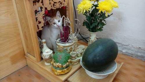 Chú mèo leo bàn thờ ăn chuối ngắm gà