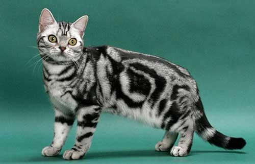 Tính cách của mèo Mỹ lông ngắn