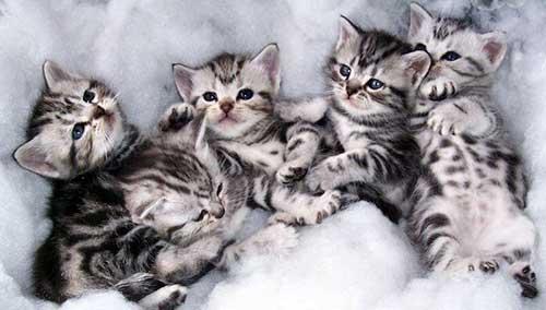 đặc điểm mèo Mỹ ln