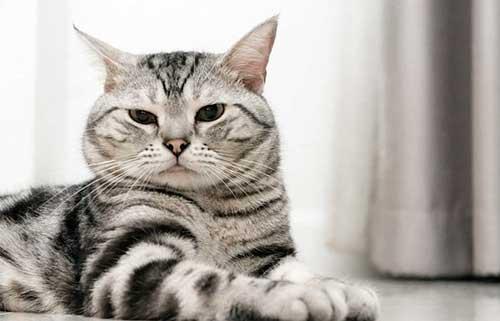 Mèo Mỹ Lông ngắn có nguồn gốc ở đâu.