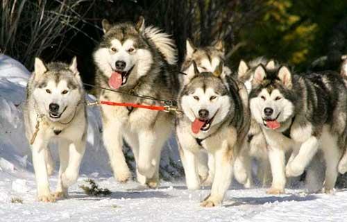 5 thủ thuật phân biệt chó Alaska và Husky