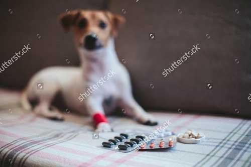 Tẩy giun cho chó tại nhà tiết kiệm