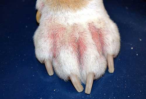 Triệu chứng chó bị viêm da có mủ