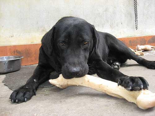 cách xử lý khi chó bị hóc xương