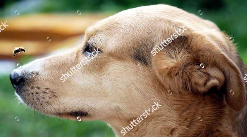 3 bước xử lý chó bị ong đốt