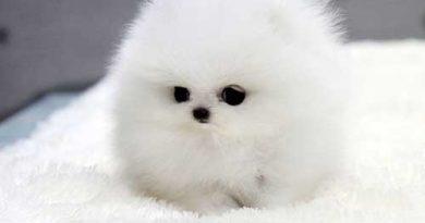Chó Teacup Pomeranian