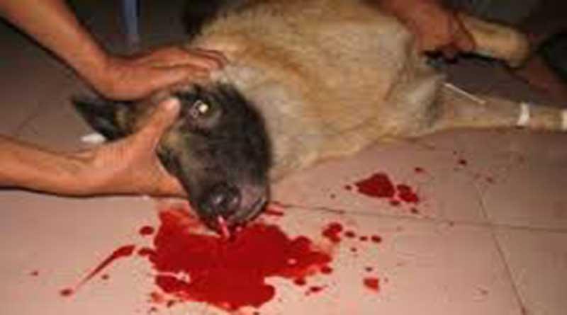 bệnh chó bị chảy máu mũi