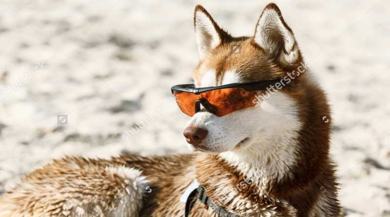 biểu hiện chó bị sốc nhiệt và cách phòng tránh