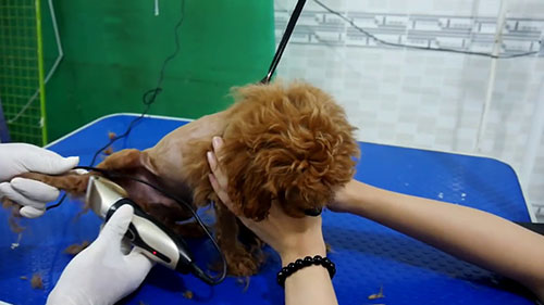 Chăm sóc sau khi cạo lông máu cho Poodle