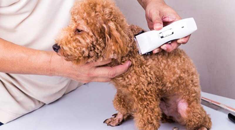 Cạo lông máu cho chó Poodle- có nên hay không