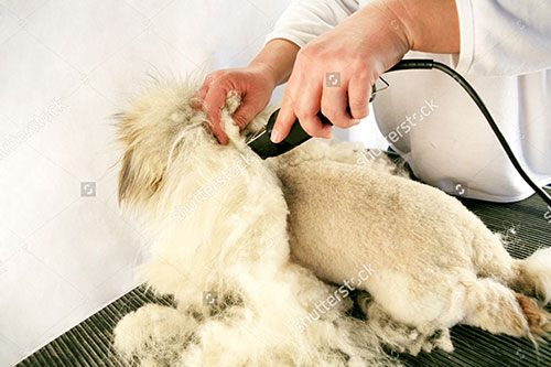Cạo lông máu cho Poodle