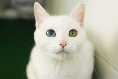 Chăm sóc mèo Khao Manee. Ảnh Internet
