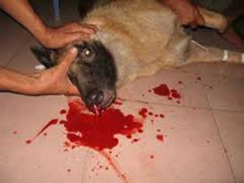 chó bị chảy máu mũi`