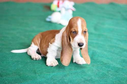 Đặc điểm của chó Basset Hound