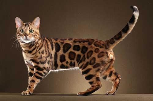 Đặc điểm mèo Bengal