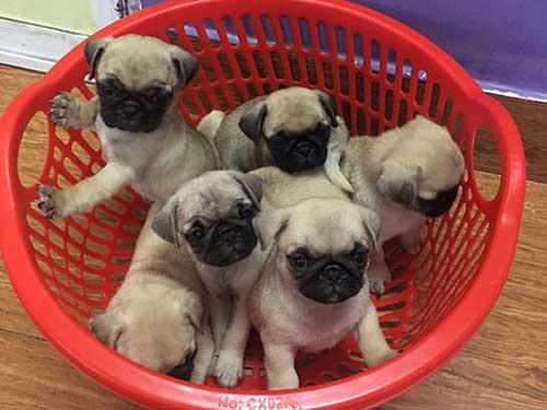 hình ảnh đàn chó Pug dễ thương