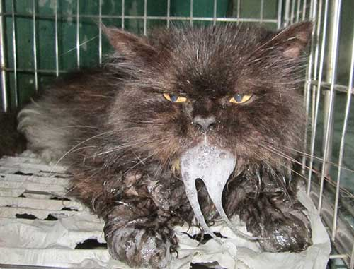 Dấu hiệu bệnh giảm bạch cầu ở mèo