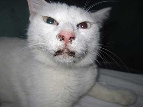 Virus FPV gây bệnh giảm bạch cầu ở mèo