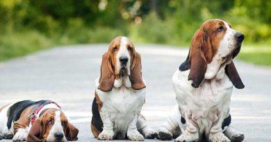 Giống chó Basset Hound