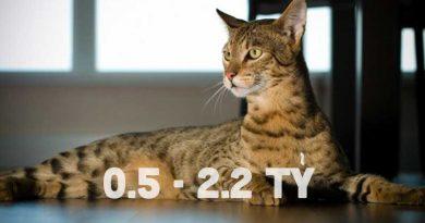 Mèo Ashera và các thông tin cần biết