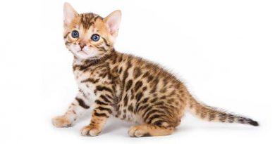 Nguồn gốc của mèo Begal