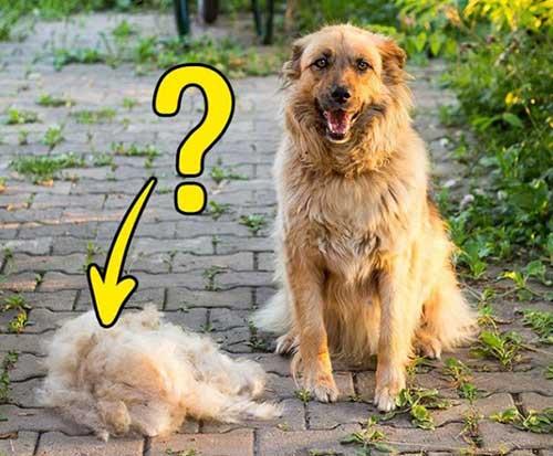 Nguyên nhân chó bị rụng lông