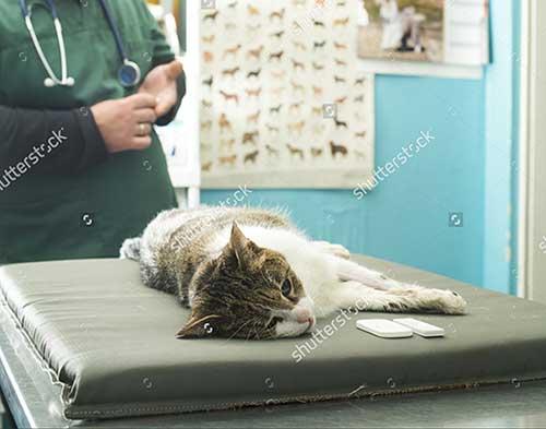 Nguyên nhân mèo bị tiêu chảy và nôn