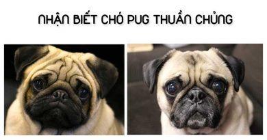 Nhận biết chó Pug thuần chủng