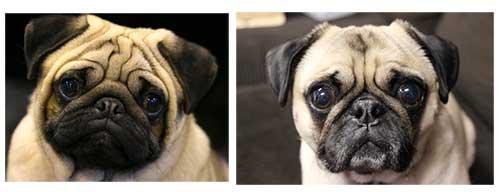 Phân biệt khuôn mặt chó Pug thuần chủng