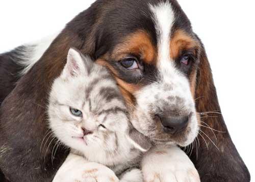 Tính cách thân thiện của chó Basset Hound