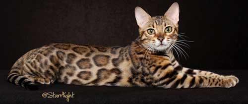 Tính cách mèo Bengal