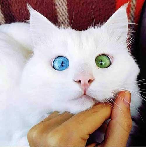 Tính cách mèo Khao Manee