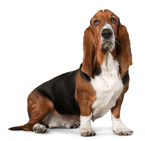 Vẻ ngoài đặc biệt của chó Basset Hound