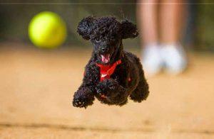 Vận động năm trong cách nuôi chó Poodle 2 tháng tuổi