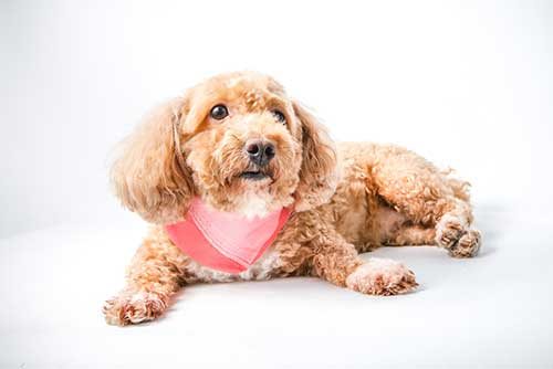 Chú ý trong cách nuôi chó poodle 2 tháng tuổi