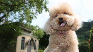 Cách nuôi chó Poodle 2 tháng tuổi như thế nào