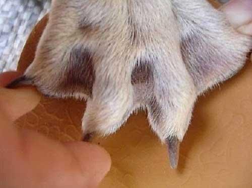 Chân chó Phú Quốc
