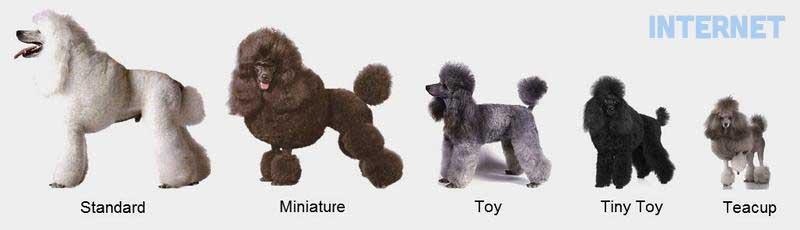 Chó Poodle có mấy loại