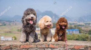 Chó Poodle giá 2 triệu, 1 triệu