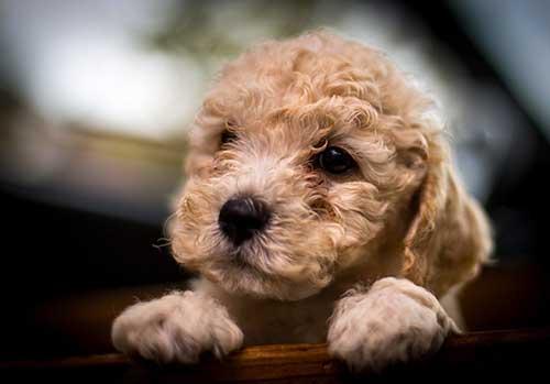 Nguồn gốc của chó Poodle