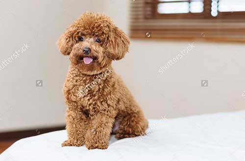 Thông tin cần biết về chó poodle