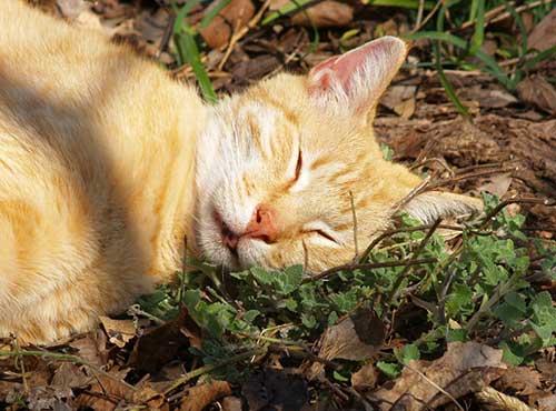 loại cỏ mèo catnip